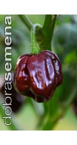 SCOTCH BONNET CHOCOLATE - 10 k