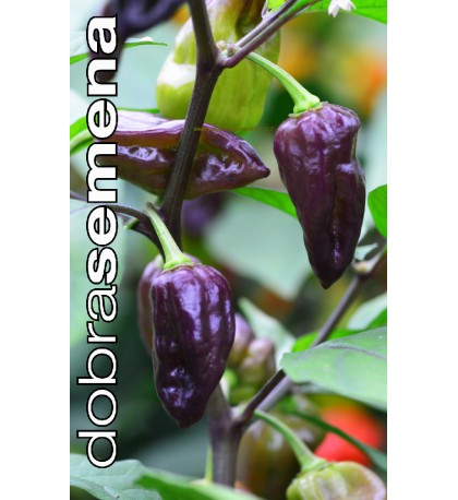 BHUT JOLOKIA PURPLE - 10 ks