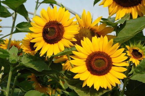 Plnokvěté slunečnice již taky nejsou novinkou. Odrůda TEDDY BEAR ...